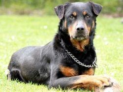 Popito, chien Rottweiler