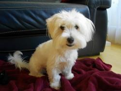 Poppée, chien Coton de Tuléar