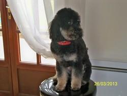 Poppy, chien Caniche