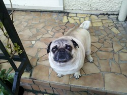 Poppy, chien Carlin