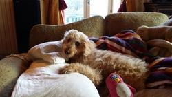 Poppy, chien Chien d'eau espagnol