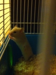 Poppy, rongeur Hamster