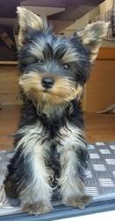 Pops, chien Yorkshire Terrier