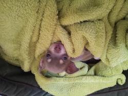 Popsie, chien Chihuahua
