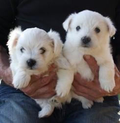 Popsty, chien Bichon maltais