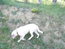 Poquet, chien