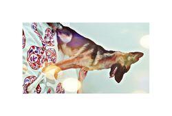 Porsheh, chien Berger allemand
