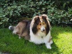 Porto, chien Berger des Shetland