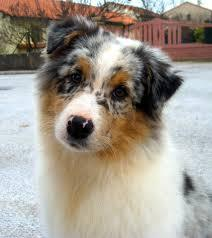 Poshka, chien Berger australien
