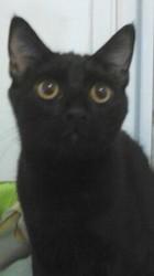 Potté, chat Bombay