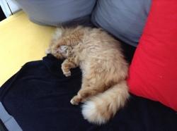 Potté, chaton Persan