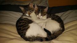 Potté Et Fiona, chat Européen