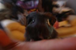 Potter, rongeur Cochon d'Inde