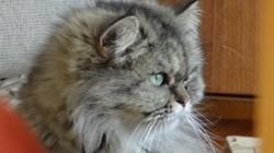 Poucha, chat Persan