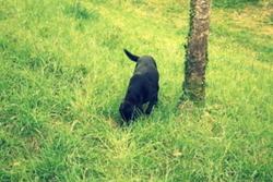 Pouchkin, chien Labrador Retriever