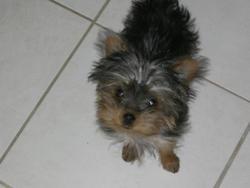 Poucy, chien Yorkshire Terrier