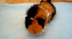 Poudding, rongeur Cochon d'Inde