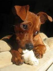 Pouf, chien Pinscher