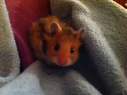 Pouf, rongeur Hamster