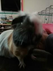 Pouik-Pouik, rongeur Cochon d'Inde