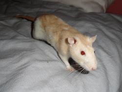 Pouiky, rongeur Rat