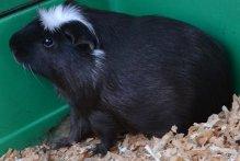 Pouka, rongeur Cochon d'Inde