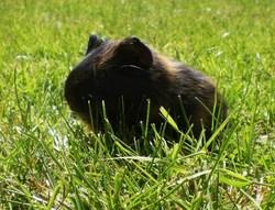 Pouki, rongeur Cochon d'Inde