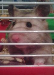 Pouki, rongeur Hamster