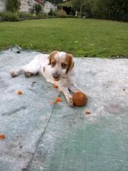 Pouky, chien Épagneul breton