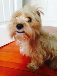 Pouky, chien Yorkshire Terrier