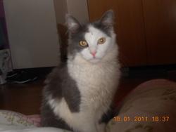 Poulard, chat