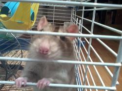 Poumba, rongeur Rat
