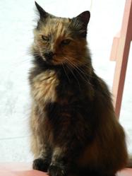 Pounette, chat Européen