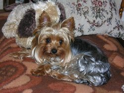 Pounette, chien Yorkshire Terrier