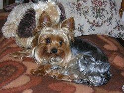 Pounette, chien Yorkshire Terrier