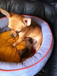 Poupee, chien Chihuahua