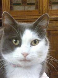 Poupée, chat Européen