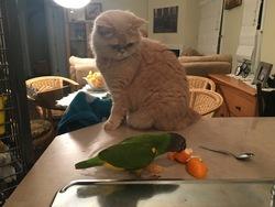 Poupée, chat Persan