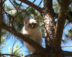 Poupée, chat Birman