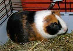 Poupette, rongeur Cochon d'Inde