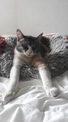 Poupette, chat Persan