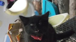 Poupette, chat Angora turc