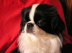 Poupette, chien Épagneul japonais