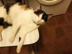Poupette, chat Européen