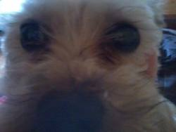 Poupette, chien Yorkshire Terrier