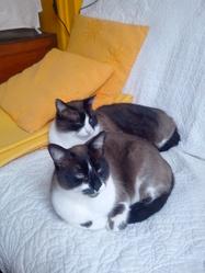 Poupette, chat Siamois