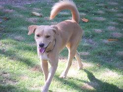 Poupi, chien Labrador Retriever