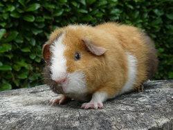 Poupi, rongeur Cochon d'Inde
