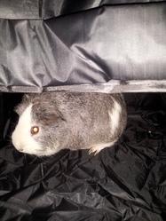 Poupou, rongeur Cochon d'Inde