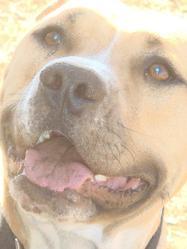 Poupou, chien American Staffordshire Terrier